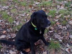 Romeo, chien Labrador Retriever