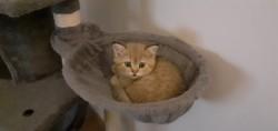 Rominou, chaton British Shorthair