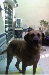 Romulus, chien
