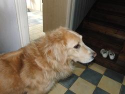 Romulus, chien Golden Retriever