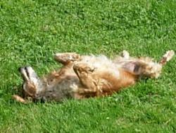 Romy, chien Épagneul breton