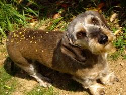 Romy , chien Teckel
