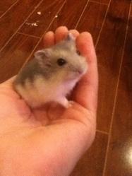 Romy, rongeur Hamster
