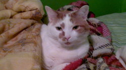 Ron, chat Japanese Bobtail