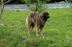 Ronia, chien Leonberger