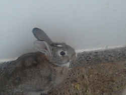 Ronny, rongeur Lapin