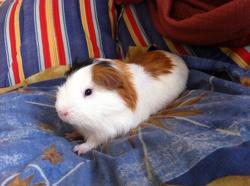 Ronny, rongeur Cochon d'Inde