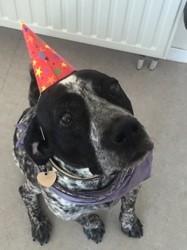 Rony, chien Braque allemand à poil dur