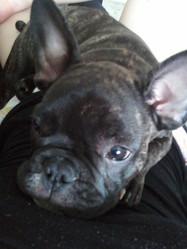Rony, chien Bouledogue français