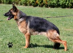 Roof, chien Berger allemand