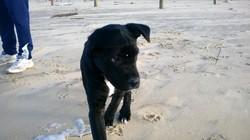Roomer, chien Cane Corso