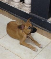 Root, chien Rhodesian Ridgeback