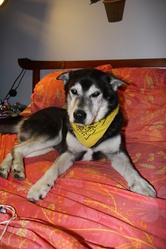 Roots, chien Husky sibérien