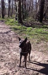 Roots, chien Berger hollandais