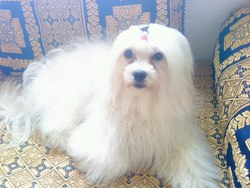 Rosa, chien Petit chien lion