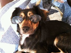 Rosa, chien Yorkshire Terrier