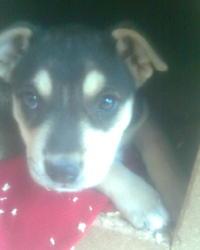 Rosa, chien Rottweiler