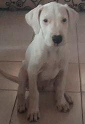 Rosa, chien Dogue argentin
