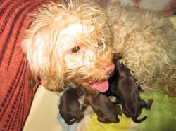 Rosa De Taghit, chien Bichon maltais