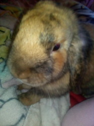 Rosabelle, rongeur Lapin