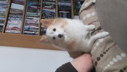 Rosabelle, chien Berger des Shetland