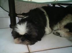 Rosabelle, chien Shih Tzu