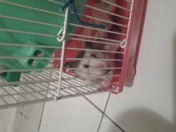 Rosalie, rongeur Hamster
