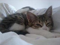 Rosalie, chat Européen