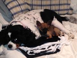 Rosalie, chien Cavalier King Charles Spaniel