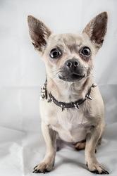 Rosalie, chien Chihuahua