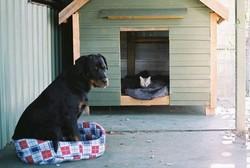 Rosaline, chien Rottweiler