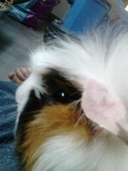 Rosaly, rongeur Cochon d'Inde