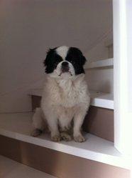 Romeo, chien Épagneul japonais