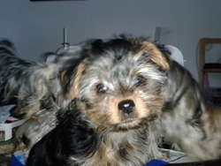 Rose, chien Yorkshire Terrier