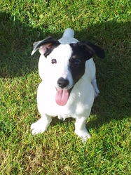Rose, chien Jack Russell Terrier