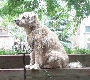 Rose, chien Schnauzer