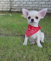 Rose, chien Chihuahua