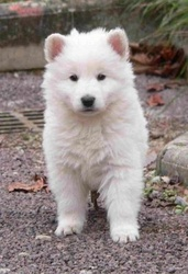 Rose, chien