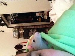 Rose, rongeur Rat