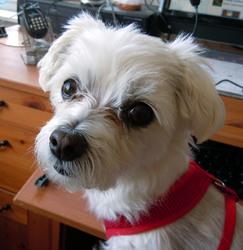 Rose, chien Bichon havanais