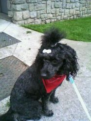 Roselia, chien Caniche