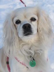 Roselle, chien Cavalier King Charles Spaniel