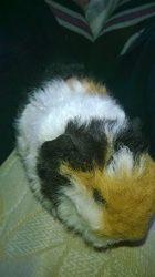 Rosette, rongeur Cochon d'Inde