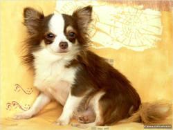 Rosi, chien Chihuahua