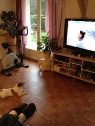 Rosie, chien Jack Russell Terrier
