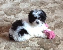 Rosie, chien Bichon maltais
