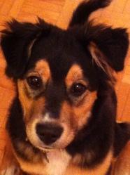 Rosie, chien Rottweiler