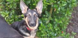 Rosie, chien Berger allemand