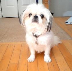 Rosie, chien Shih Tzu