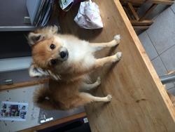 Rosie, chien Spitz allemand